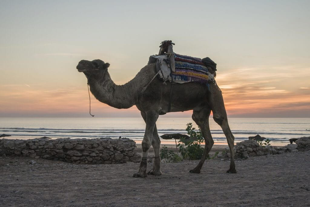 Camel in Essaouira beach in Morocco. Sun is setting behind the Moroccan camel. Sky is yellow, blue and orange.