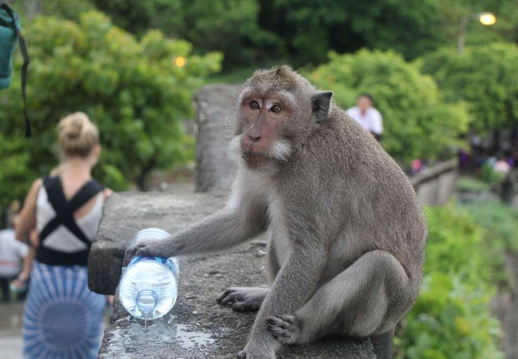 Monkey in Uluwatu Temple