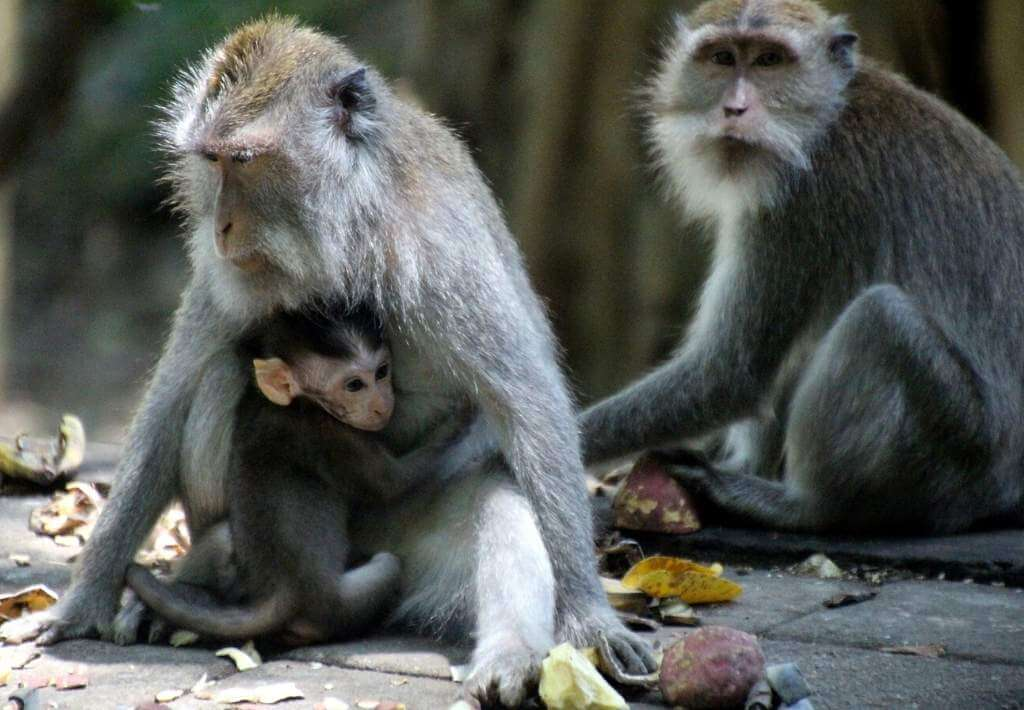 Bali Monkeys: How to See Them & Avoid Confrontation