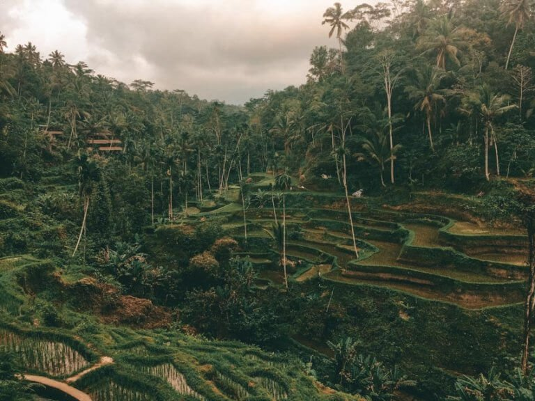 Picture of a rice field in Bali, Indonesia