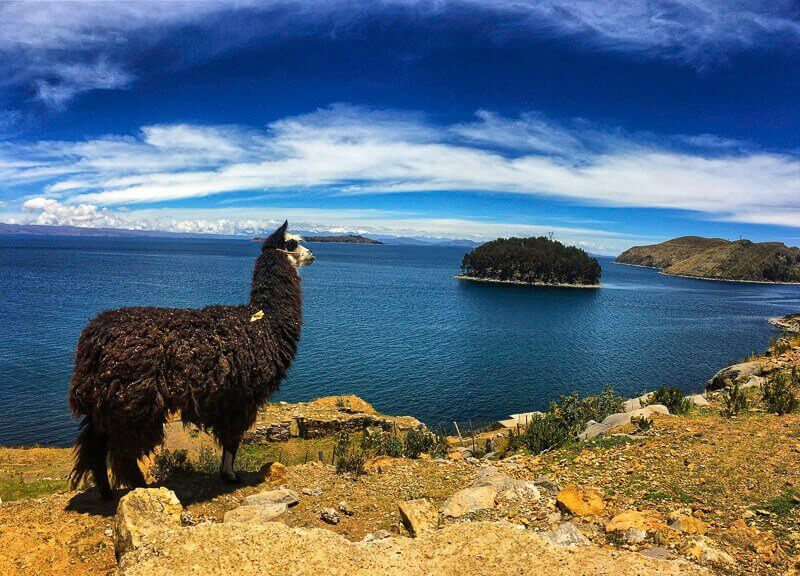 Picture of a black and white alpaca standing on top of a mountain in Isla Del Sol which is located in Copacabana, Bolivia