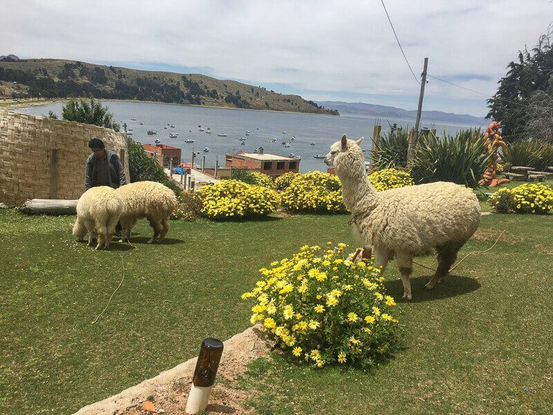 Two alpacas on grass, standing in front of Lake Titicaca in Copacabana