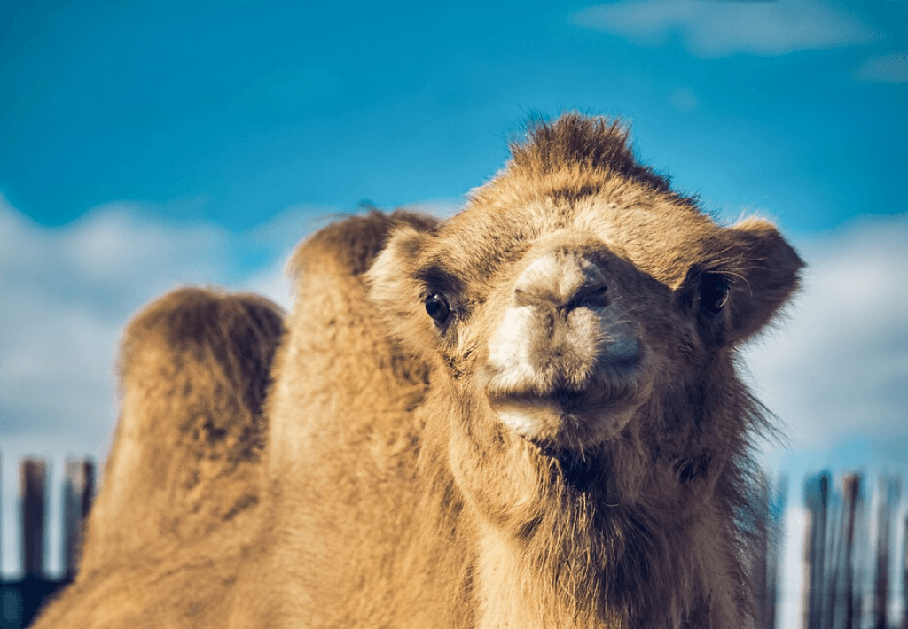 Africa Travel Guide Thumbnail. Picture is of a camel looking at camera.