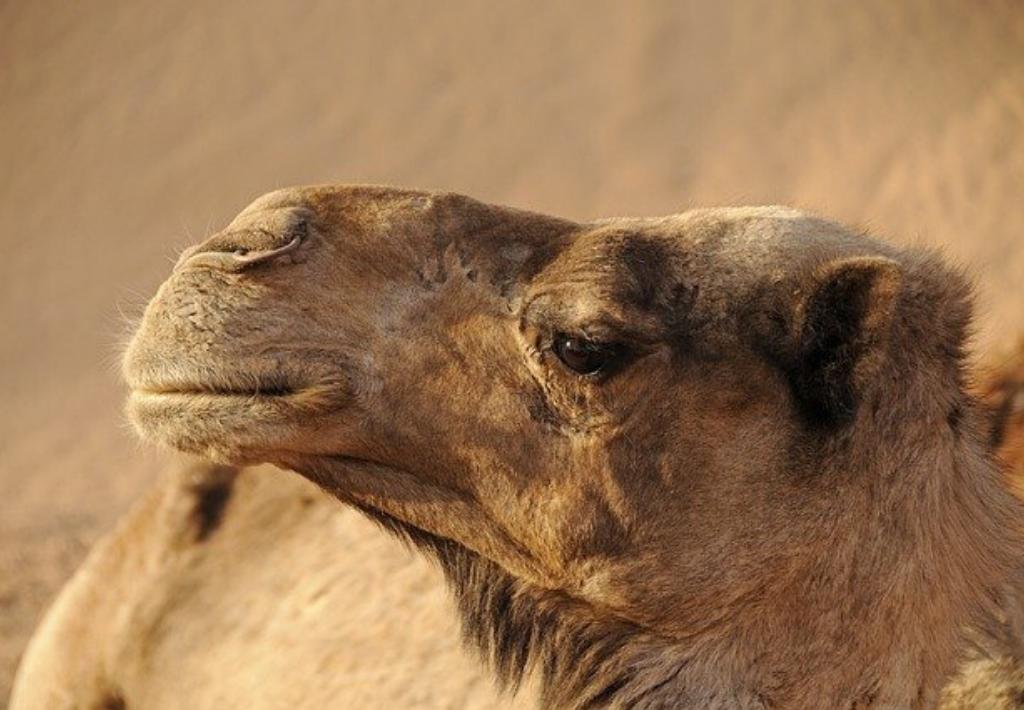 Camel in Marrakech Morocco. Thumbnail for Morocco guide.