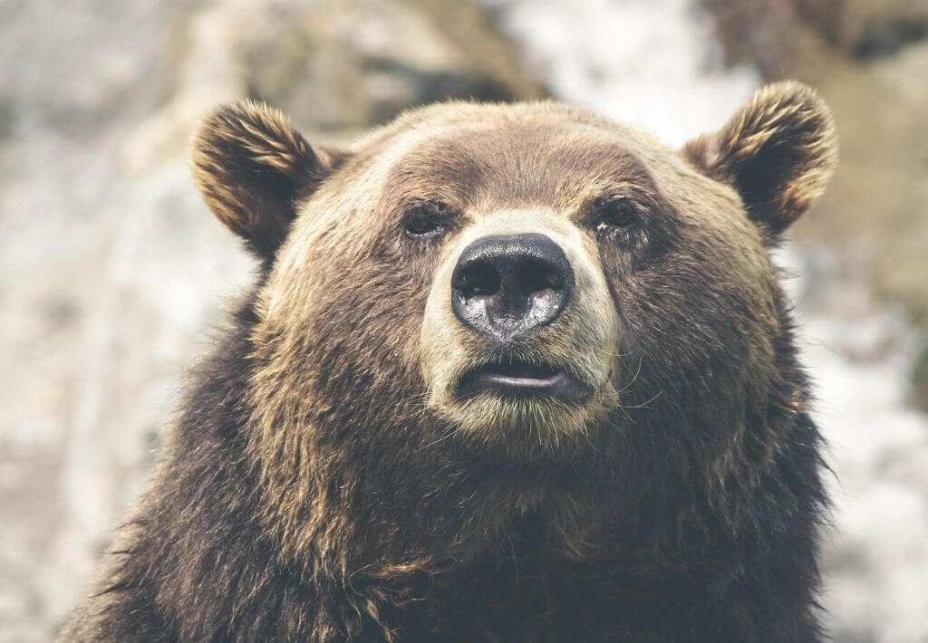 North America Thumbnail. Picture is of a black bear.